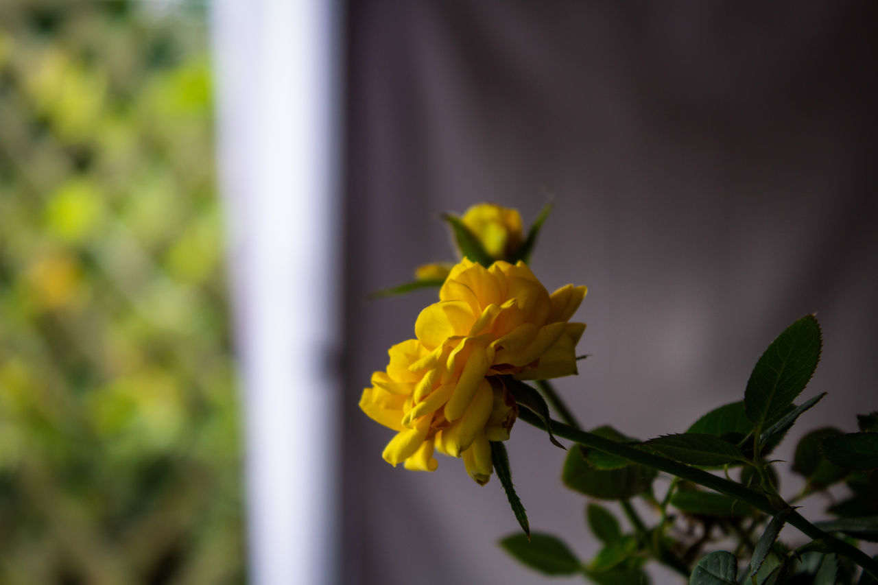 flowering plant, flower, plant, vulnerability, fragility, beauty in nature, freshness, yellow, petal, growth, close-up, flower head, inflorescence, nature, selective focus, focus on foreground, day, no people, outdoors, plant part
