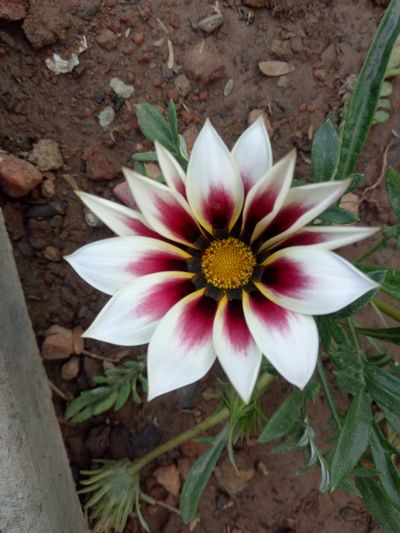 Flower Beauty In Nature Beautiful Beautiful Nature Flowers Flower Head Flowers,Plants & Garden Botony Plant Nature Fragility Growth White Flower White And Pink Flower Sunflower Freshness No People Green Color