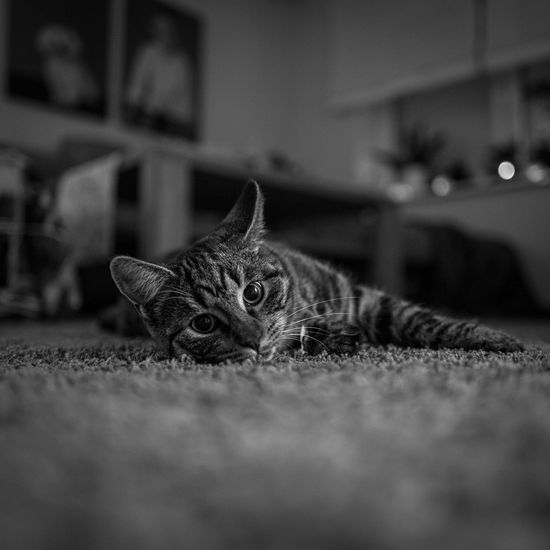 Portrait of a cat resting at home