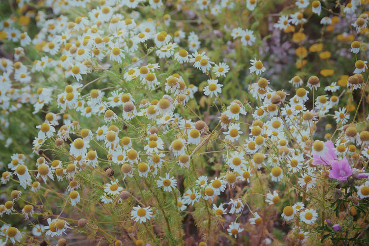 Kamillenblüten Kamillenblüten Tea Beauty In Nature Blooming Camomile Blooming Camomile Tea Camomiles Close-up Day Flower Flower Head Fragility Freshness Growth Health Nature No People Outdoors Plant Prickly Pear Cactus