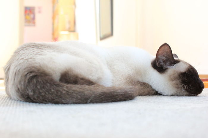 At Home Cat Cats Domestic Animals Domestic Cat Indoors  Lying Down No People Nofilter One Animal Pets Relaxation Resting Siam Siamcat Siamese Siamese Cat Siamesecat Siamesecats Sleep Sleeping Sleeping Cat Sleepy Sleepy Cat White