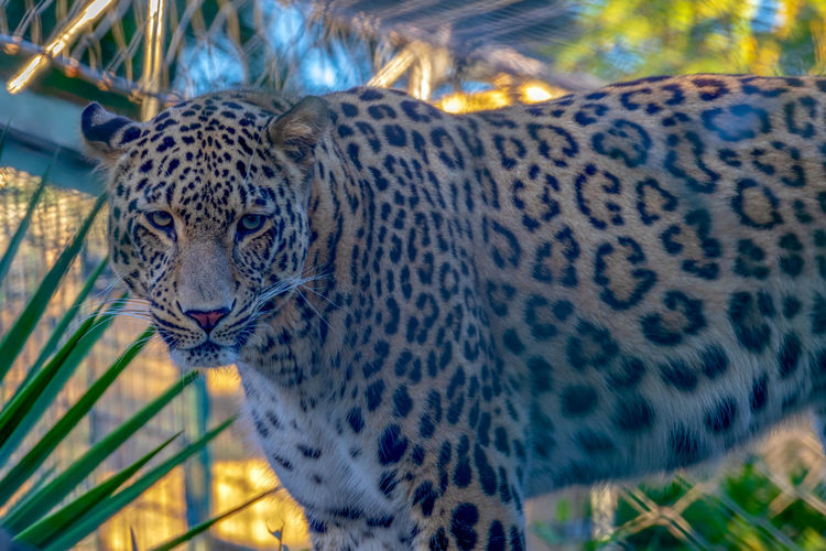 Big Cat Animal Wildlife Animal Feline Animal Themes Animals In The Wild One Animal Mammal Cat Leopard Focus On Foreground Carnivora Animal Markings No People Vertebrate Spotted Day Close-up Nature Looking Away Outdoors Whisker Animal Head