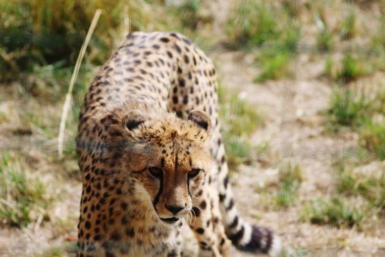 Portrait of a cheetah against blurred background