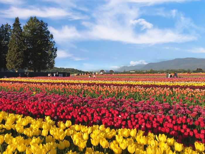 Flower Flowering Plant Plant Beauty In Nature Growth Freshness Cloud - Sky Sky Flowerbed Nature Fragility Red Multi Colored Abundance Vulnerability  Field Day Landscape Yellow No People