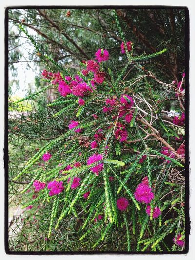 Melaleuca gibbosa Flowers Colorful Hanging Out Tasmania