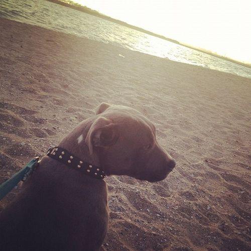 Bullets first time at the beach ☀ he loved it ? Beach Sbt Staffy Staffysmile staffysofinstagram staffordshirebullterrior puppy petsofinstagram sunset bluestaffy