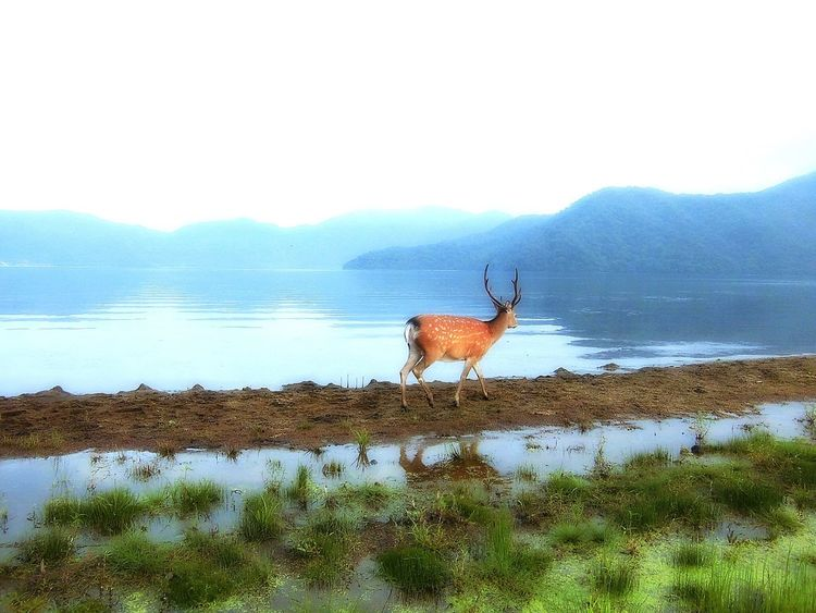 神の棲む湖🏞🦌 God living in the lake Nature Animal Wildlife Water Mammal Mountain Grass One Animal Stag Outdoors Beauty In Nature Animal Themes No People Antler Standing Scenics Arid Climate Day Sky The Great Outdoors - 2017 EyeEm Awards First Eyeem Photo EyeEm Best Shots EyeEm Gallery Eye4photography  God Living In The Lake