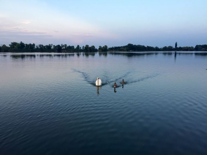 Swan Swimming With Cygnets In Lake Against Sky