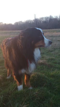Bernese Mountain Dog No Filters  Sunlight Animal Photography Pet Dog Berner Sunset Dog Walking