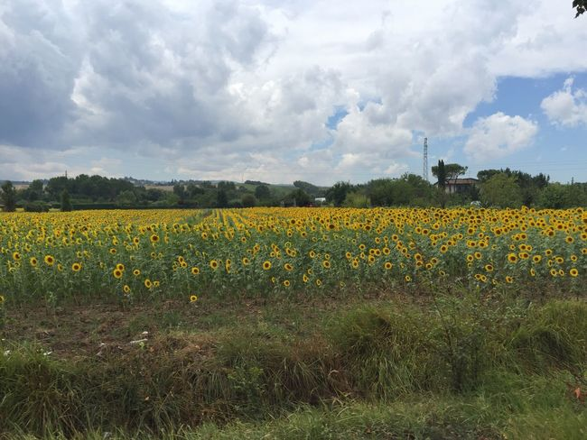 Flower Field Nature Growth Beauty In Nature Plant Yellow Day No People Outdoors Tranquility Sunflower Field Summer Italy Sky Cloud - Sky Landscape Tranquil Scene Freshness Fragility Rural Scene Scenics