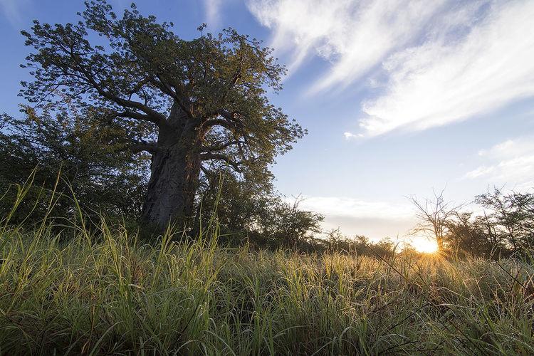 Baobab Botswana Grass Landscape Lens Flare Nature Sunbeam Tree