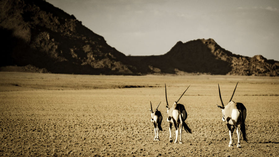 Oryx walking on landscape against sky during sunny day