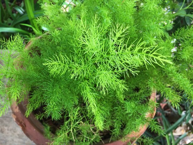 Parsley in a pot Parsley Pot Pot Plant Green Color Plant Nature High Angle View Outdoors Leaf Growth Health Spring Beautiful Garden Summer Needle Plant Green