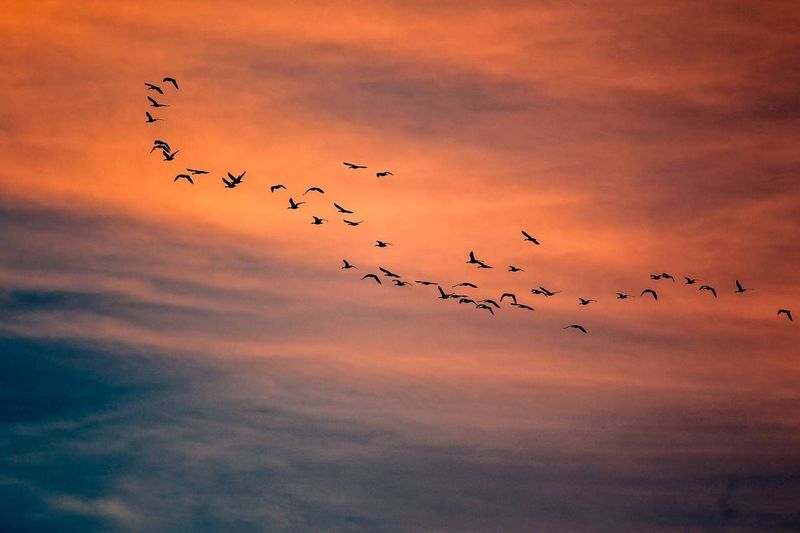 Flock Of Birds Flying Over Sky