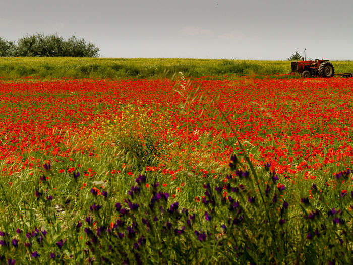 Red poppy flowers growing on field against sky