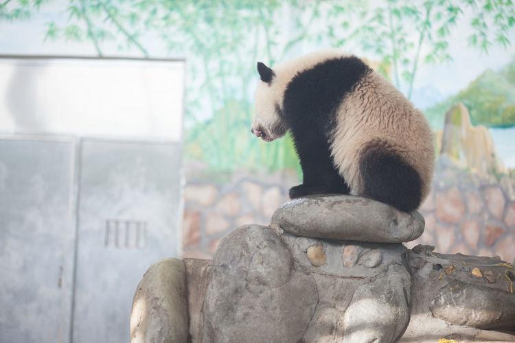 Full length of panda sitting on rocks in zoo