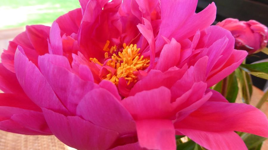 Pink Peony Blossom close up Pink Flower Pink Peony Flower Peony  Flower Flowering Plant Vulnerability  Fragility Petal Plant Beauty In Nature Freshness Close-up Flower Head Growth Inflorescence Pink Color Focus On Foreground No People Pollen Nature Day