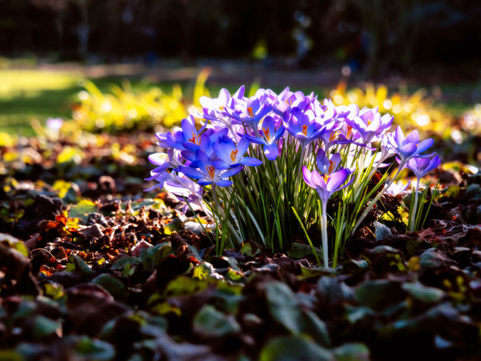Flower Flowering Plant Vulnerability  Freshness Growth Fragility Plant Beauty In Nature Petal Selective Focus Close-up Nature Land Inflorescence No People Flower Head Field Leaf Purple Day Outdoors Iris Crocus