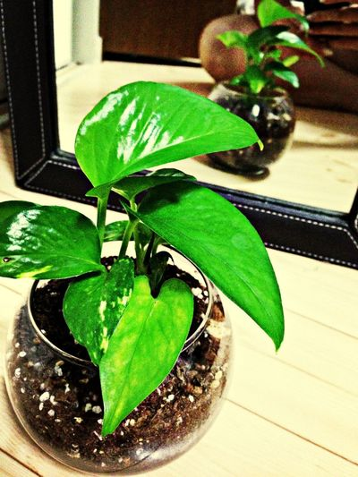 新しい家族。 Plants Green Potos