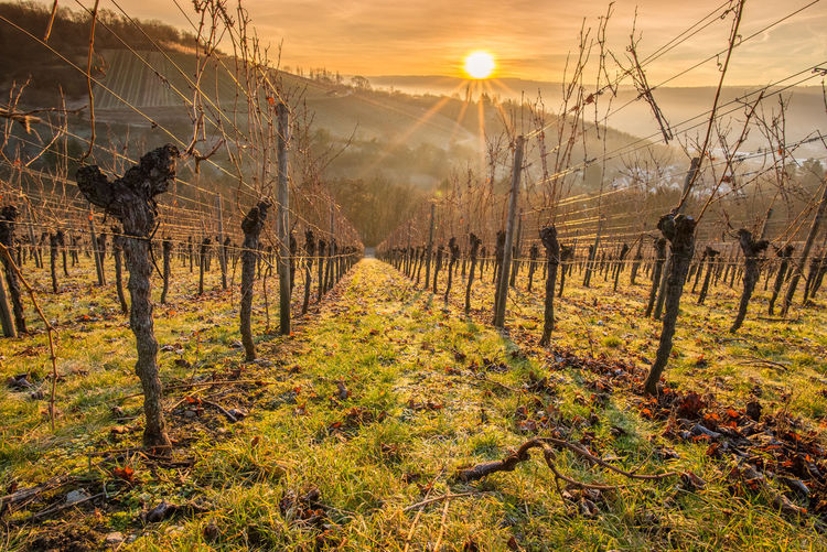 Sunrise in a vineyard in winter Agriculture Remstal Sky And Clouds Vines Winter Beauty In Nature Branch Day Forest Germany Landscape Nature Outdoors Real People Scenics Sky Sun Sunlight Sunrise Sunset Tranquil Scene Tree Tree Trunk Vineyard