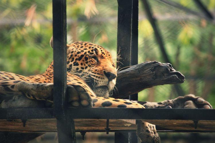 Giraffe relaxing on tree in zoo