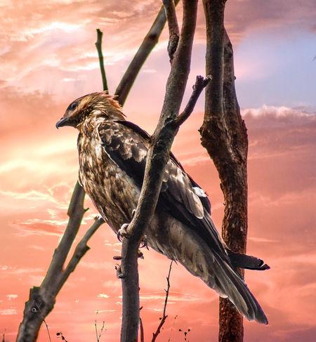 Eagle Hunter Wildlife & Nature Wildlife Photography Animal Themes Animal Wildlife Animals In The Wild Beauty In Nature Birdofprey Nature Sunset Wildlife