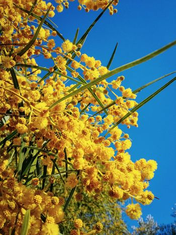 Valley Of The Temples Agrigento Sicily Italy Travel Photography Travel Voyage Traveling Mobile Photography Fine Art Nature Mimosa Trees Yellow Flowers Mobile Editing Showcase April