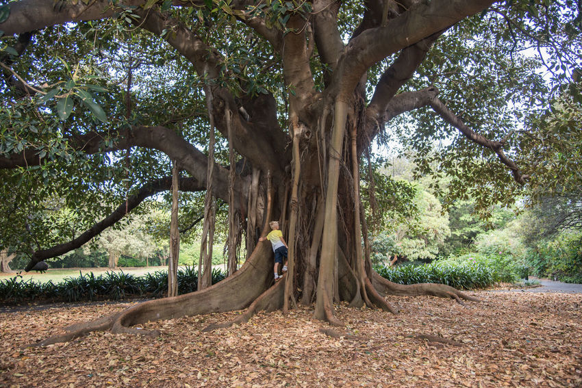 SYDNEY,NSW,AUSTRALIA-NOVEMBER 20,2016: Child climbing roots of large fig tree with aerial root structure at the Royal Botanic Gardens in Sydney, Australia. Banyan Tree Botanical Gardens Branches Growth Moreton Bay Nature Royal Botanic Gardens Sydney, Australia Tree Tree Trunk Aerial Roots Beauty In Nature Botany Boy Branch Child Climbing Fig Large Leaves Lush Foliage Macrophylla Outdoors Root Tree Roots