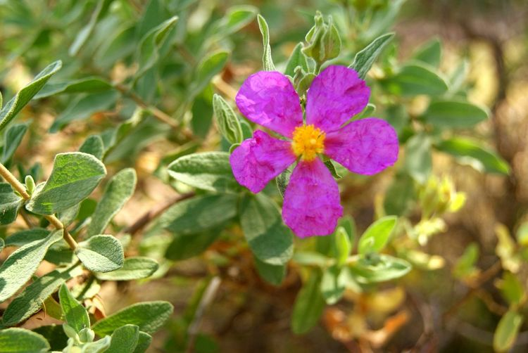 Mallorca Flower Plant Nature No People Day Outdoors Beauty In Nature Close-up Flower Head Freshness Pink Color Fragility