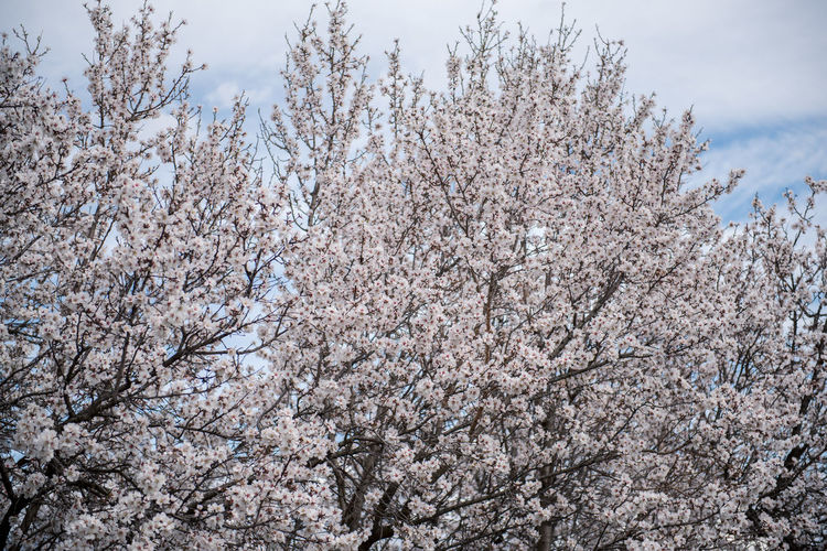 Flowering Plant Plant Flower Freshness Fragility Tree Blossom Cherry Blossom Growth Branch Nature Springtime Cherry Tree No People Outdoors Almond Tree Almond Blossom Blooming Beauty In Nature Sky Day Tranquility Low Angle View White Color Scenics - Nature