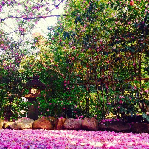 散り際まで美しい八重桜のある結婚式場