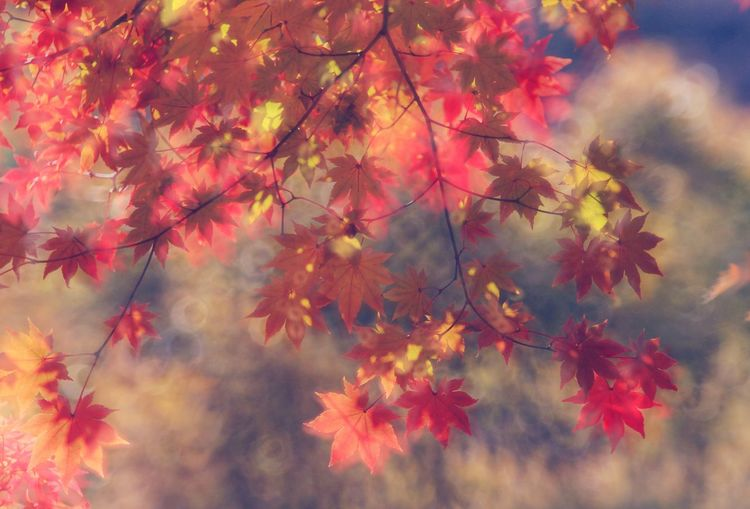 Autumn Autumn colors Autumn South Korea Beauty In Nature Beautiful Nature Tree Beauty Branch Book Cover Fog Forest Leaf Autumn Red Autumn Collection Sunbeam Maple Leaf Maple Tree Maple Leaves