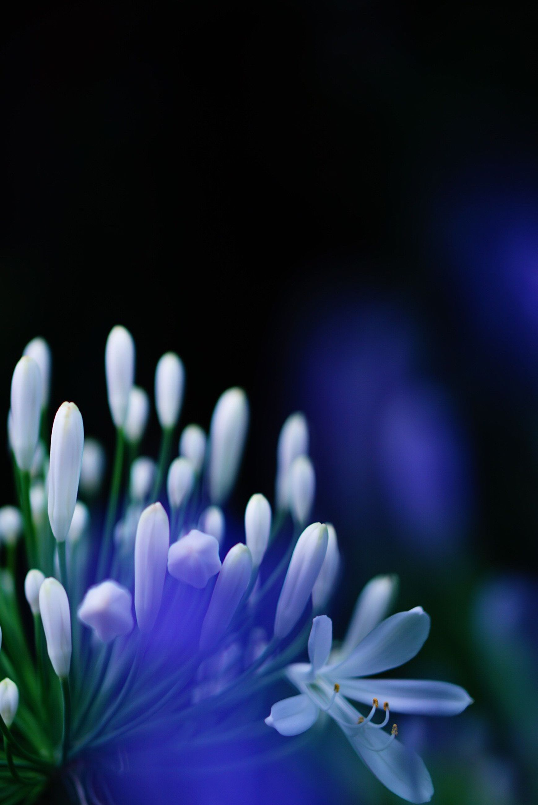 flower, petal, fragility, freshness, growth, beauty in nature, flower head, nature, blooming, close-up, plant, focus on foreground, white color, night, in bloom, purple, outdoors, selective focus, no people, park - man made space