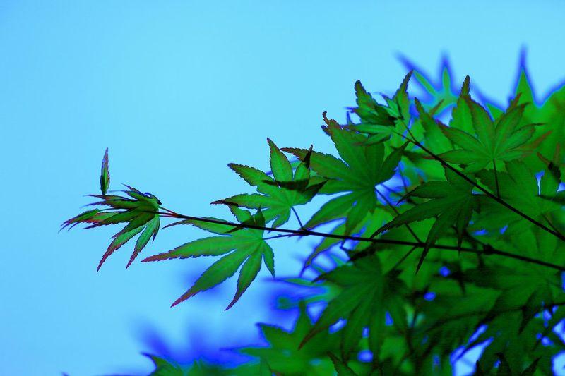 だからツツジを見に行ったはずなのに……変なん色に弄られたモミジ!σ(^◇^;) Taking Photos Enjoying Life Tree Silhouette シルエット部 Silhouette Trees Colored Leaves Leafs Leaf ツツジはどこ?