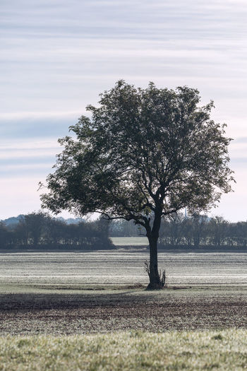 Solitary tree in a frosty field in sunshine Frosty Morning Solitary Tree Beauty In Nature Day Environment Field Grass Ground Frost Growth Isolated Land Landscape Nature No People Non-urban Scene Outdoors Plant Remote Scenics - Nature Sky Solitude Tranquil Scene Tranquility Tree