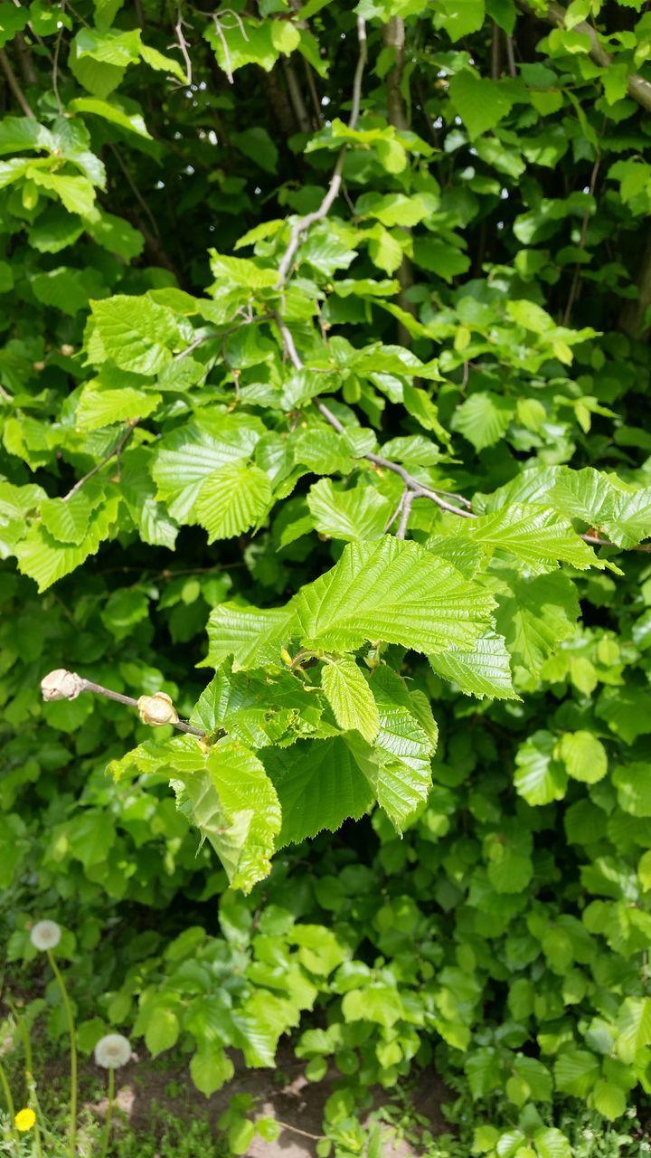 Green Elm Branch