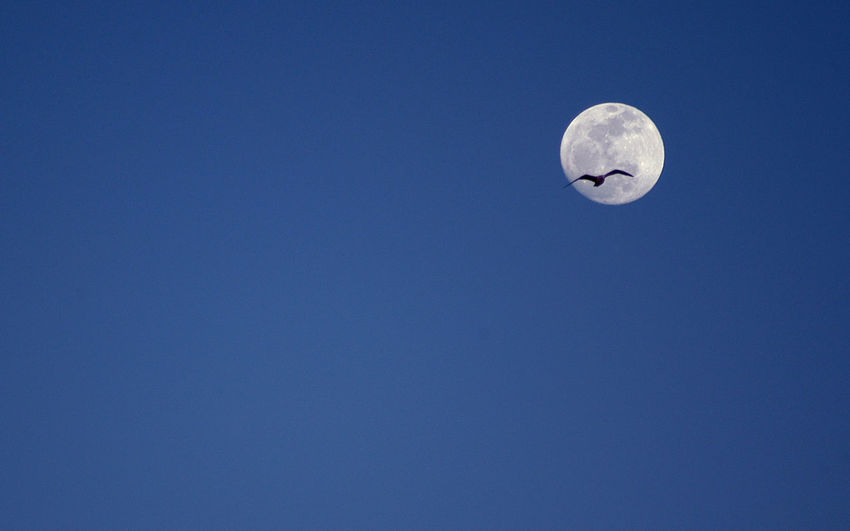 Low Angle View Of Bird Flying Against Full Moon In Clear Blue Sky At Dusk
