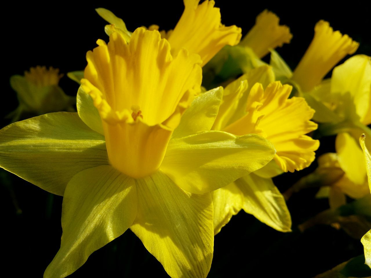 flower, petal, yellow, beauty in nature, flower head, fragility, nature, freshness, growth, no people, plant, close-up, springtime, outdoors, blooming, day, black background