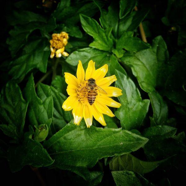 Flower Yellow Green Color Beauty In Nature Close-up Flower Head Nature Summer Bee 🐝 Honey HoneyBee Natural Honey Small HoneyBee