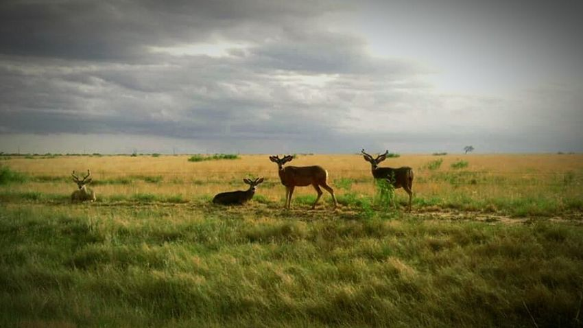 Taking Photos Texas Plains Wildlife Deer What You Looking At? Seeing The Sights