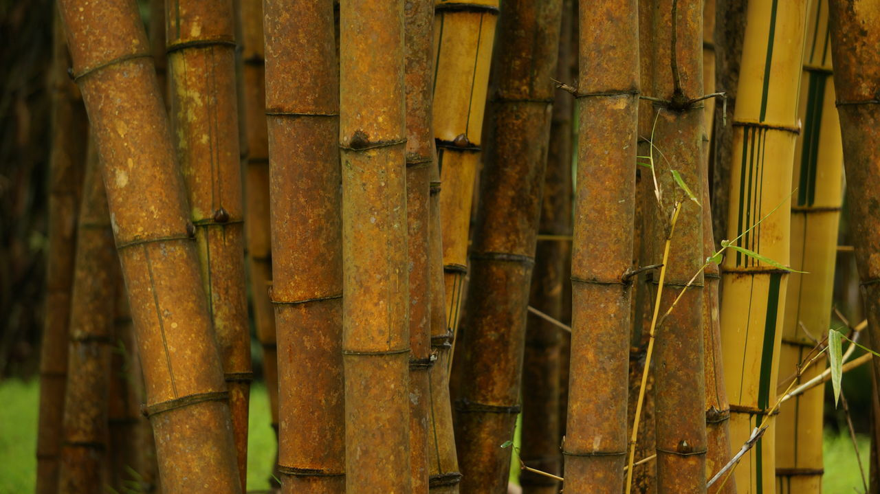 bamboo - plant, no people, bamboo, outdoors, day, close-up, bamboo grove, nature