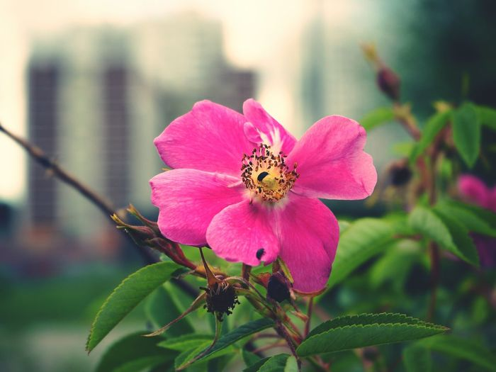 Beetle in flower Flower Nature Pink Color Day