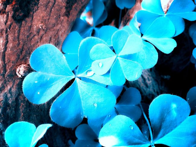 Blends Nature Lover Camera LGg3photography Photography Clover Flower Blue