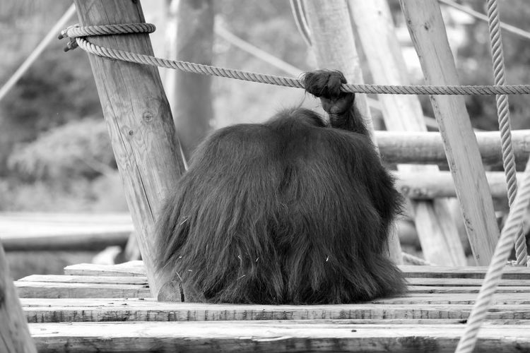 Rear view of orangutan holding rope and sitting on wooden structure