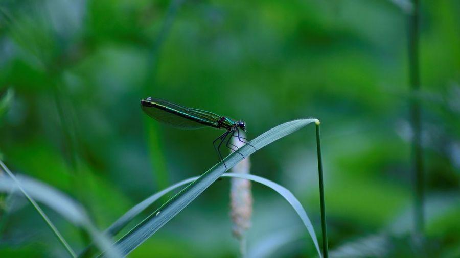 Close-up of damselfly on blade of grass