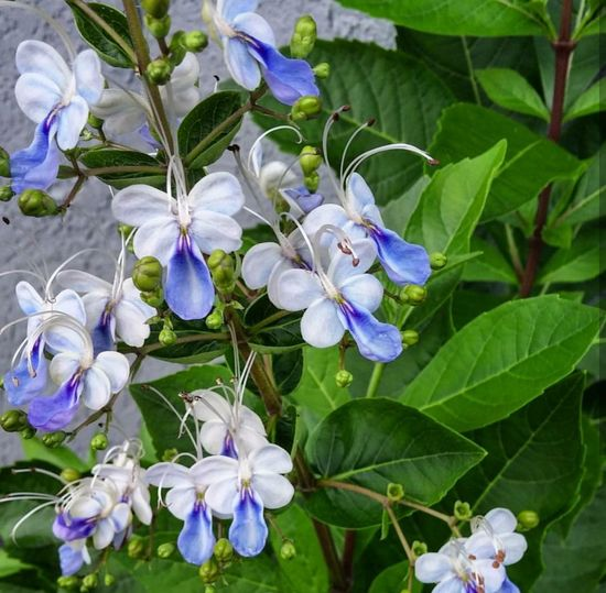 Blue Butterfly Bush Cleodendrum Ugandanese