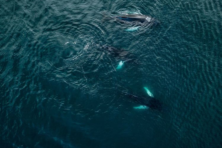 Whales from above in Iceland The Great Outdoors - 2018 EyeEm Awards Animal Animal Body Part Animal Head  Animal Themes Animal Wildlife Animals In The Wild Aquatic Mammal Fish Mammal Marine Nature No People One Animal Outdoors Pollution Sea Sea Life Swimming Turquoise Colored UnderSea Underwater Vertebrate Water