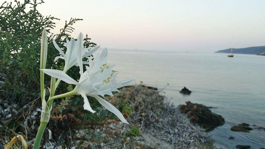 Flower Plage Beach Sunset Corsica2015 Corsica Morning Corse Cap Corse Enjoying Life