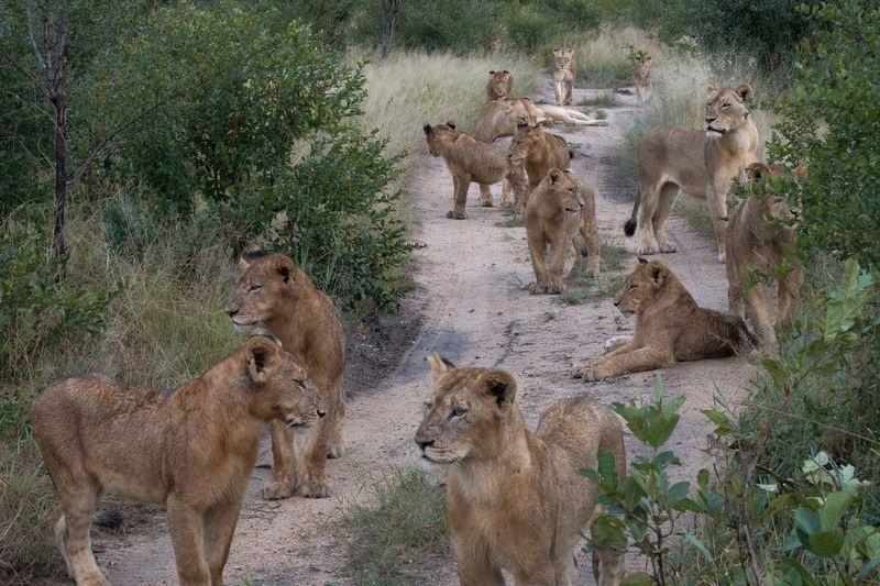 National Geographic Travel Africa Safari Wildlife Wild Cats Big Cats Group Of Lions Family Big Five Cubs  Cubs  Sabi Sands Kruger Kruger National Park, South Africa South Africa Pride Of Lions Lioness Lion