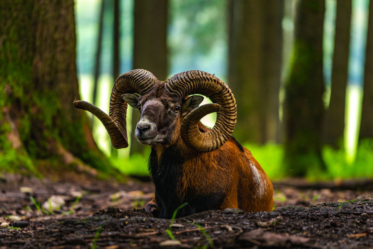 Mouflon portrait Animal Themes Animal Mammal Animal Wildlife One Animal Animals In The Wild Tree Vertebrate Land Day Forest No People Plant Focus On Foreground Nature Domestic Animals Outdoors Selective Focus Close-up Herbivorous Animal Head